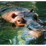 El ojo del hipopótamo