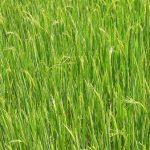 La primera mata de arroz