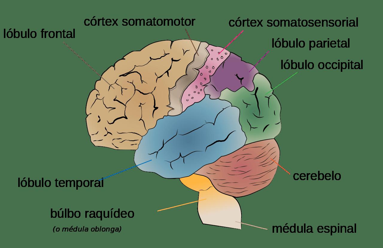 Cerebrum lobes es