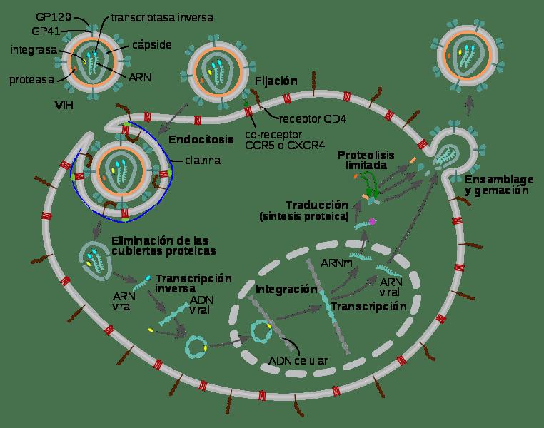 ciclo de replicación de los virus