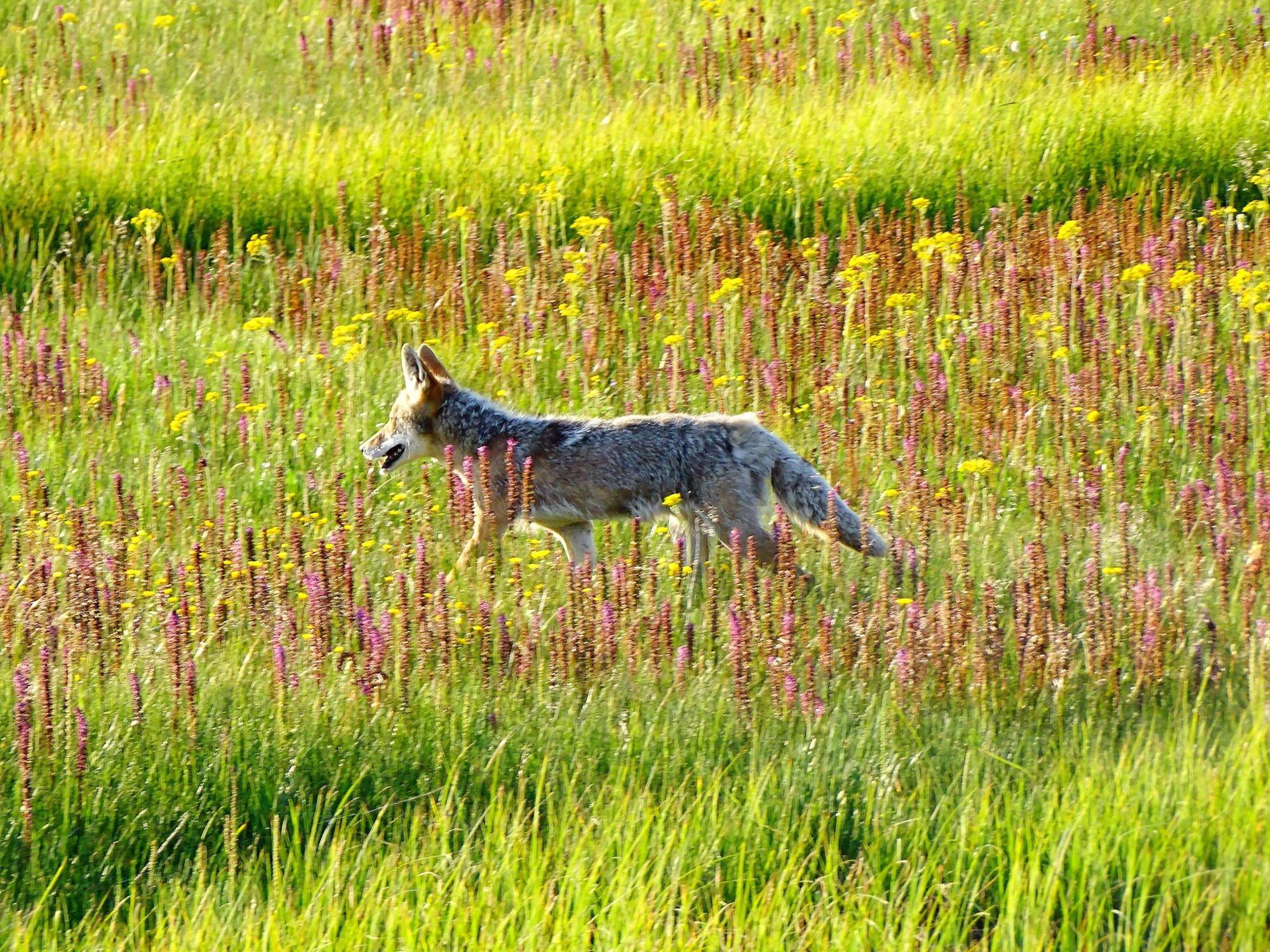 Fauna del Parque coyote 02 02