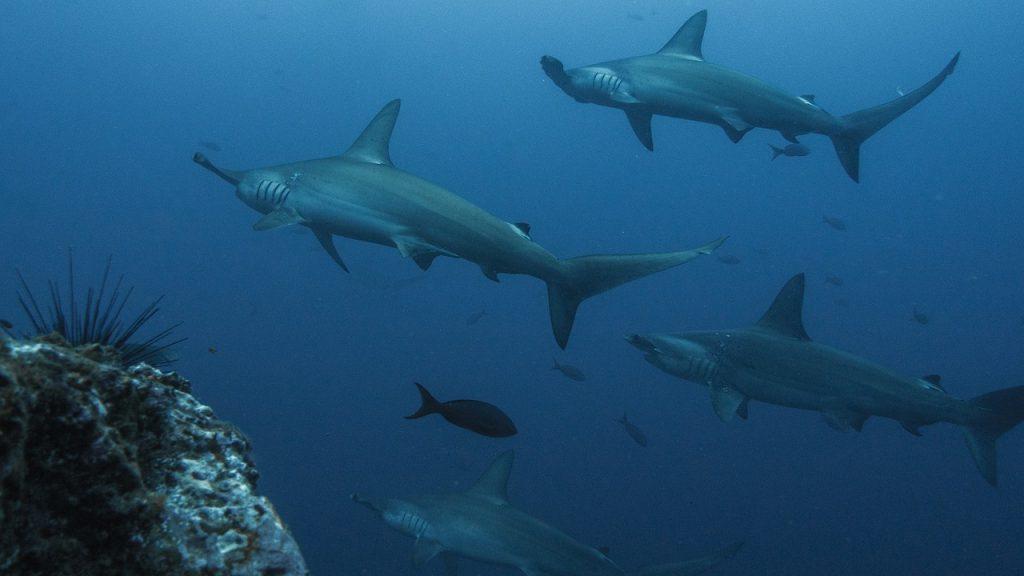 Figura 2. Escuela de tiburones martillos en isla Wolf, Galapágos (Ecuador). Foto de Pelayo Salinas.