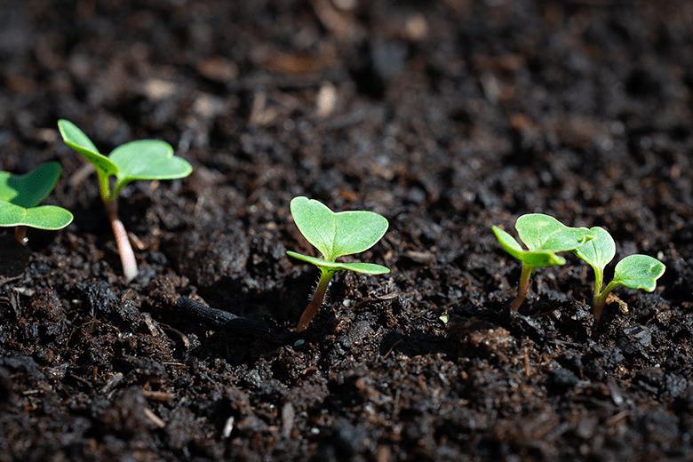 Tirar de los brotes para ayudarles a crecer