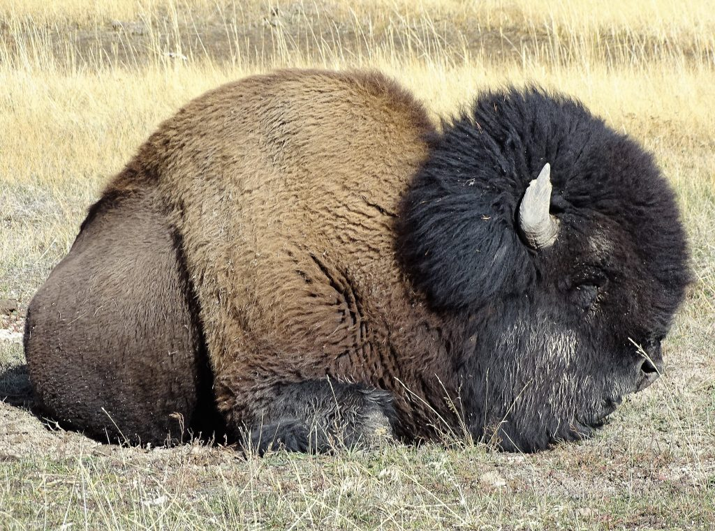 bisonte yellowstone