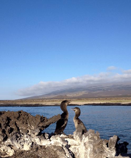 Cormoranes Galápagos