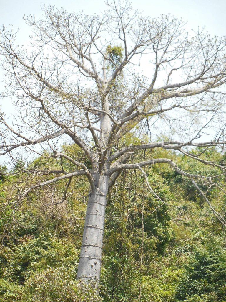 Foto: árbol pijío de la costa ecuatoriana.
